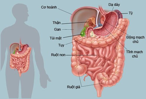 Ruột già là gì? Cấu tạo và chức năng chính của ruột già